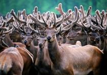 Природное богатство: в Кузбассе начнут заготавливать панты