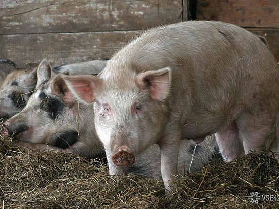 Да будет свинья: в Кузбассе вывели новую породу