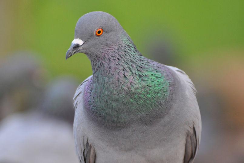 Заводчики изКузбасса украли 400 голубей насумму 200 000 руб.